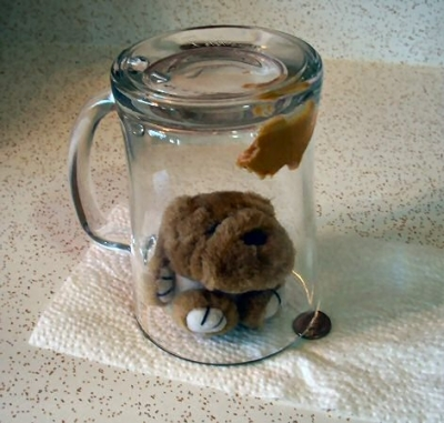 the glass jar or mug dead-fall trap has been triggered, capturing a mouse inside!